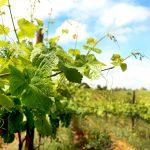 the vines_10