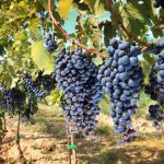 rows of wine grapes in chianti area, tuscany. italy